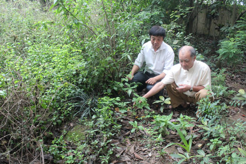 Lương y Cao Bá Cần chăm sóc vườn dược liệu